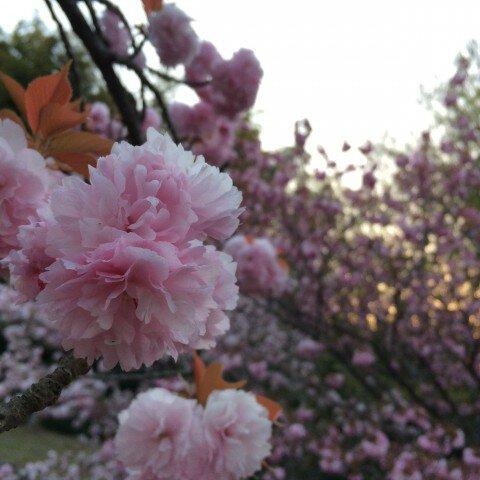 旭公園の桜名所・お花見写真