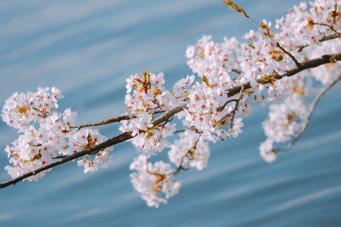 【桜・見頃】高田公園の桜名所・お花見写真