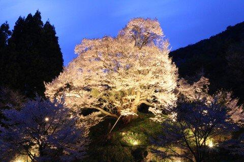 【桜・見頃】佛隆寺千年桜(佛隆寺の古桜)の桜名所・お花見写真