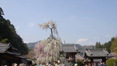 【桜・見頃】大野寺の桜名所・お花見写真