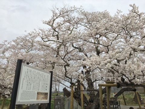 【桜・見頃】石部桜