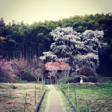 【桜・見頃】雪村桜