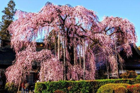 【桜・見頃】慈雲寺の桜
