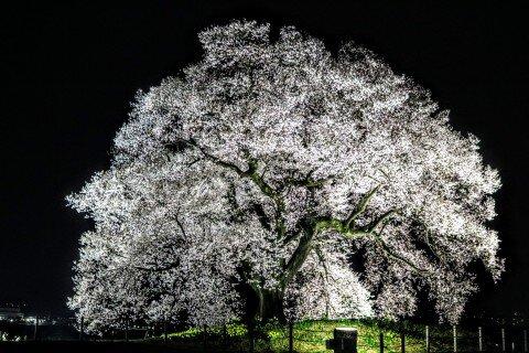 【桜・見頃】わに塚の桜