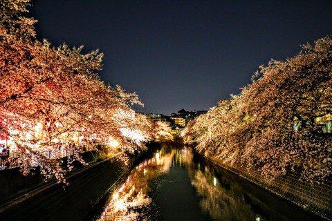 【桜・見頃】大岡川プロムナードの桜名所・お花見写真