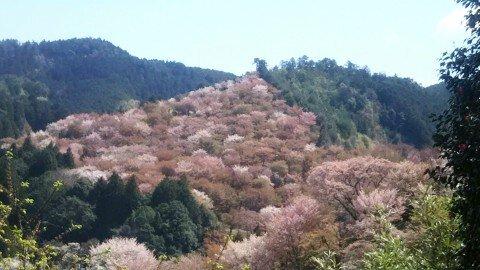 【桜・見頃】吉野山(中千本)の桜名所・お花見写真
