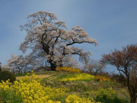 【桜・見頃】塩ノ崎の大桜