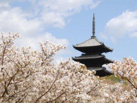 【桜・見頃】御室(仁和寺)の桜名所・お花見写真