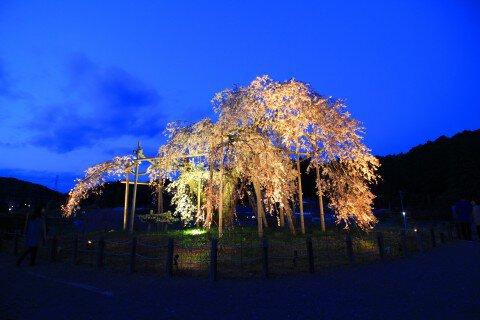 【桜・見頃】畑のしだれざくらの桜名所・お花見写真