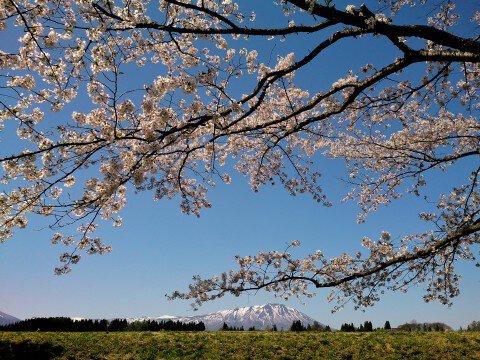 【桜・見頃】雫石川園地