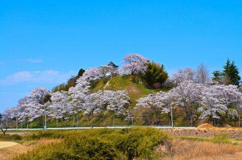 【桜・見頃】大衡城跡公園の桜名所・お花見写真