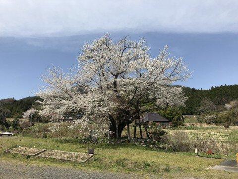 【桜・見頃】尾所の桜