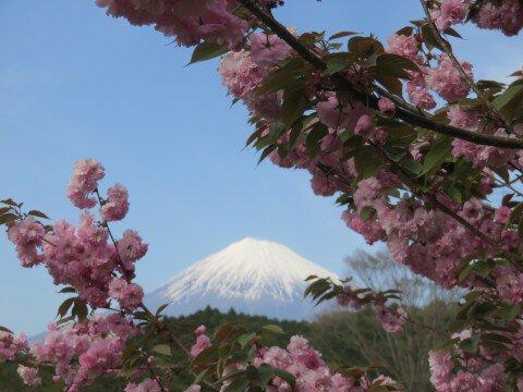 岩本山公園の桜名所・お花見写真