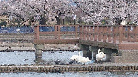 【桜・見頃】瓢湖水きん公園