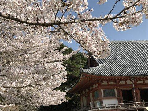 【桜・見頃】醍醐寺の桜名所・お花見写真