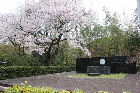 【桜・見頃】石清水八幡宮