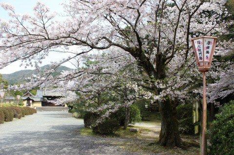 随心院 門跡の桜名所・お花見写真