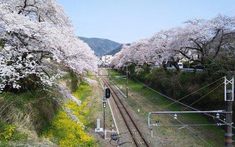 【桜・見頃】山北鉄道公園(御殿場線沿い桜並木の通り)の桜名所・お花見写真