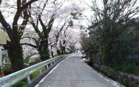 【桜・見頃】山北鉄道公園(御殿場線沿い桜並木の通り)