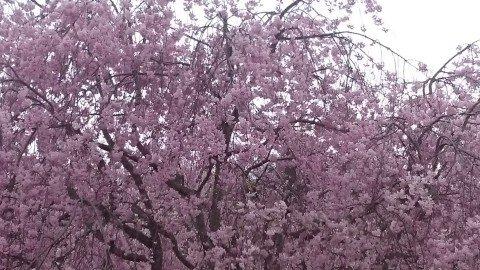 【桜・見頃】たけべの森公園