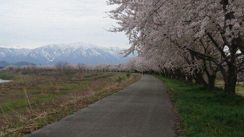 【桜・見頃】加治川堤の桜名所・お花見写真