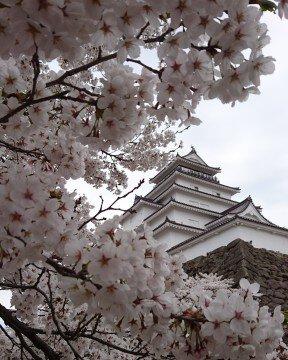 【桜・見頃】鶴ヶ城公園