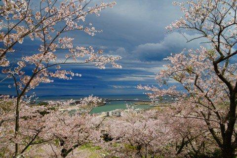 石巻日和山公園の桜名所・お花見写真