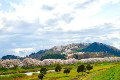 【桜・見頃】白石川堤一目千本桜の桜名所・お花見写真