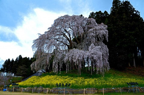 【桜・見頃】合戦場のしだれ桜