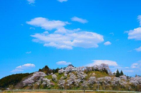 【桜・見頃】大衡城跡公園