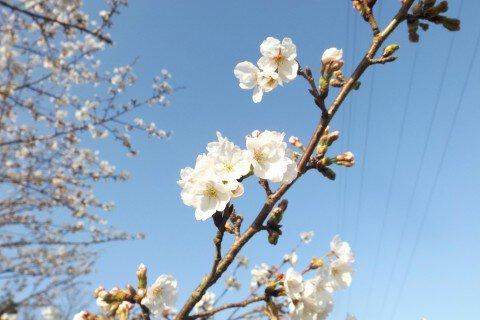 宇土周辺の桜名所・お花見写真