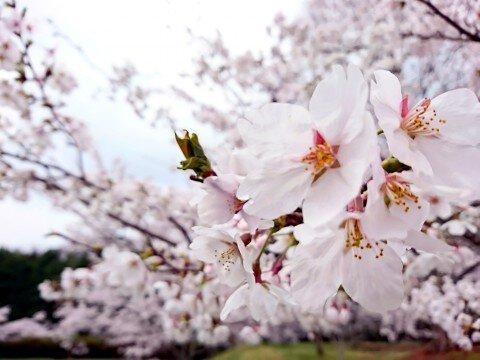 甲山ふれあいの里の桜名所・お花見写真
