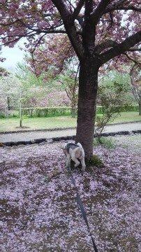 【桜・見頃】天平の丘公園の桜名所・お花見写真