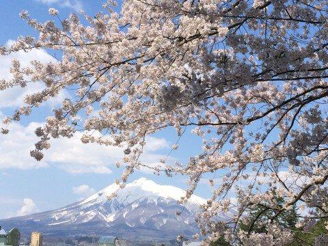 【桜・見頃】弘前公園のソメイヨシノ