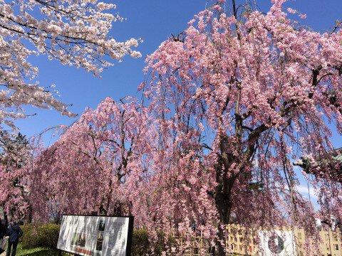 弘前公園の枝垂れ桜
