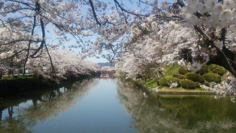 【桜・見頃】松が岬公園