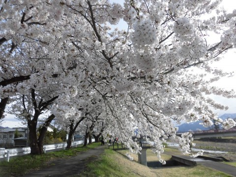 【桜・見頃】宮川千本桜
