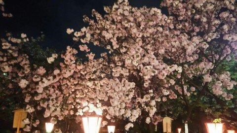 【桜・見頃】造幣局 桜の通り抜けの桜名所・お花見写真