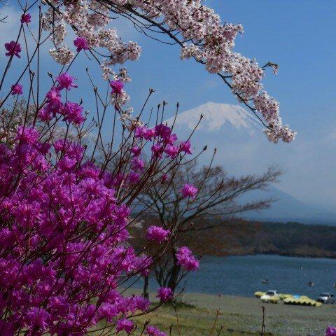精進湖の桜名所・お花見写真
