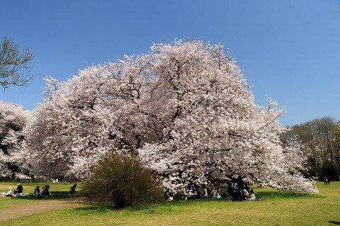 【桜・見頃】砧公園