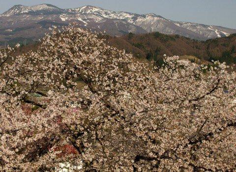 【桜・見頃】上山城・月岡公園