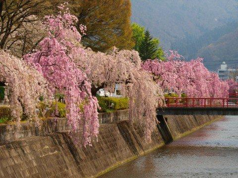 【桜・見頃】倉津川枝垂桜の桜名所・お花見写真