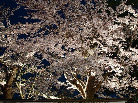 【桜・見頃】本荘公園