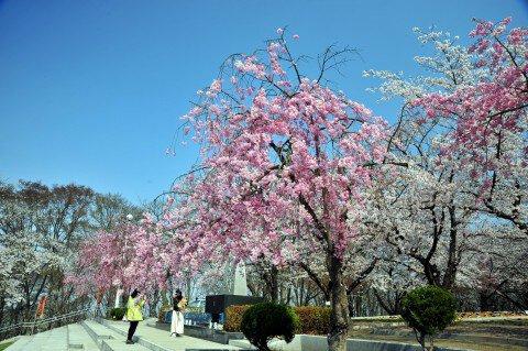 【桜・見頃】天童公園