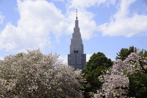 【桜・見頃】新宿御苑
