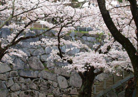 【桜・見頃】盛岡城跡公園(岩手公園)