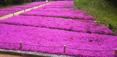 【桜・見頃】万博記念公園の桜名所・お花見写真