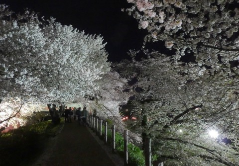 【桜・見頃】霞城公園