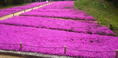 花博記念公園の桜名所・お花見写真