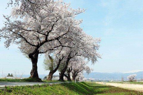 東根市 白水川堤防 100年桜